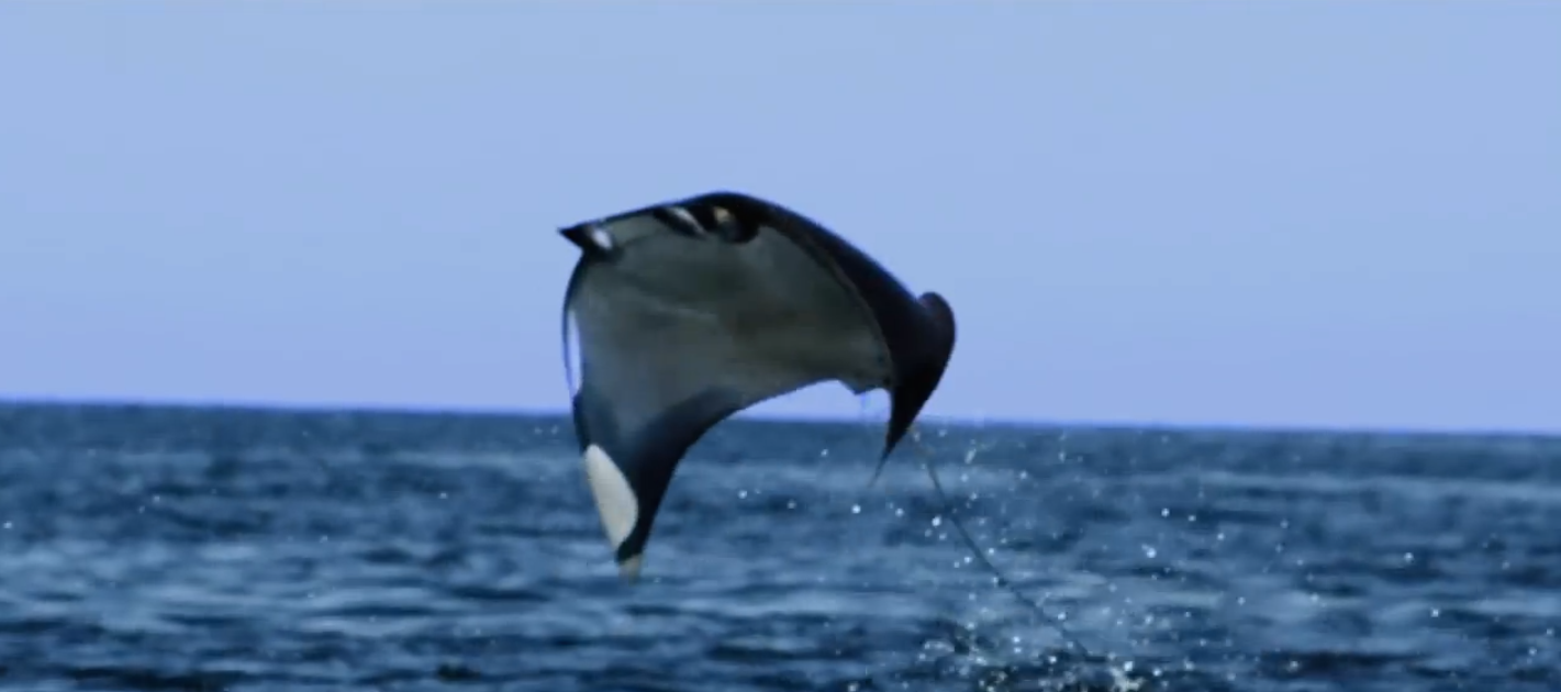 This Massive School Of Mobula Sting Rays Decide To Take Flight. Thankfully It Was Caught On Camera!