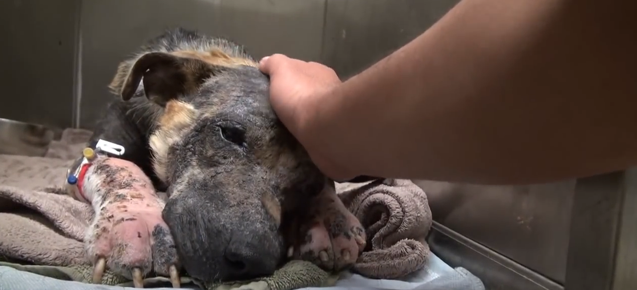 This Brutalized Dog Receives A Second Chance. Her Response Will Bring Tears Of Joy To Your Eyes.