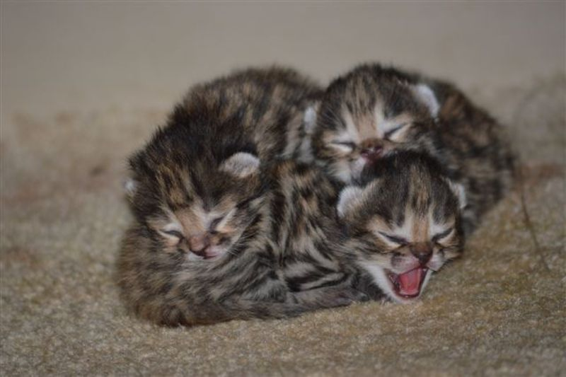 black-footed-kittens-3