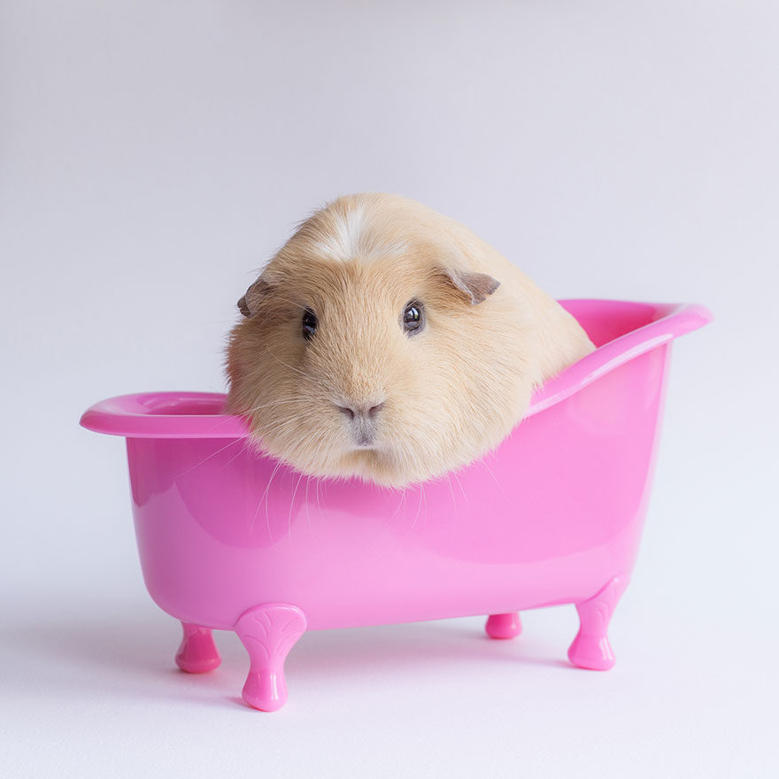 If You Ever Thought Guinea Pigs Were Ugly, You're WRONG