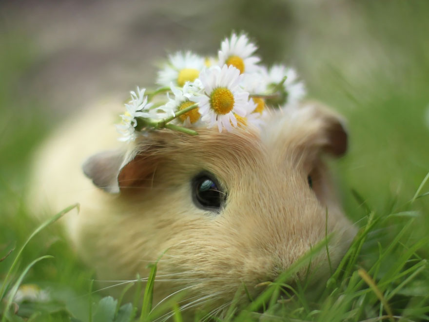 booboo-guinea-pig-flowers-daisy-ring