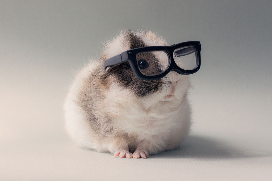 If You Ever Thought Guinea Pigs Were Ugly, You're WRONG.  Your Heart Will Just Melt, I Promise…