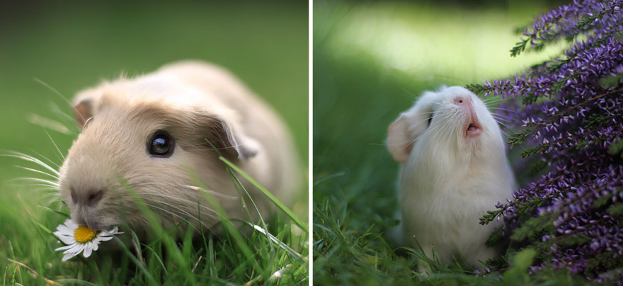 booboo-guinea-pig-mouse-friend