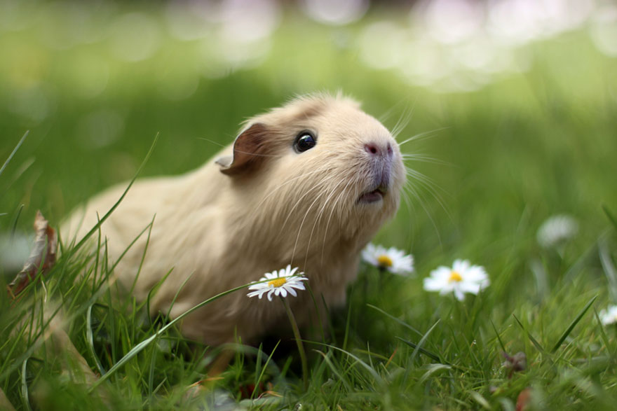 booboo-guinea-pig-outside-flowers