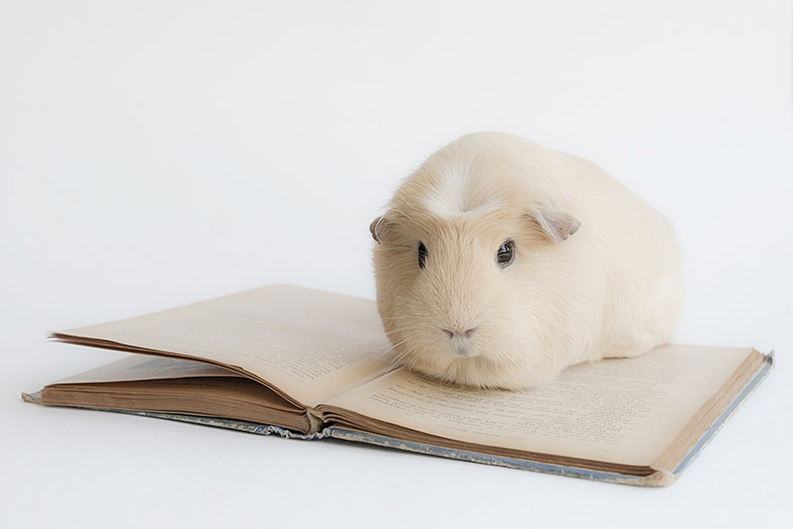 booboo-guinea-pig-reading-book