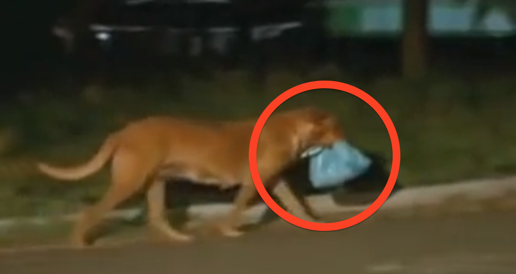 An Abandoned Dog Walks 4 Miles Every Night, See What Happens When They Follow Her And Find…