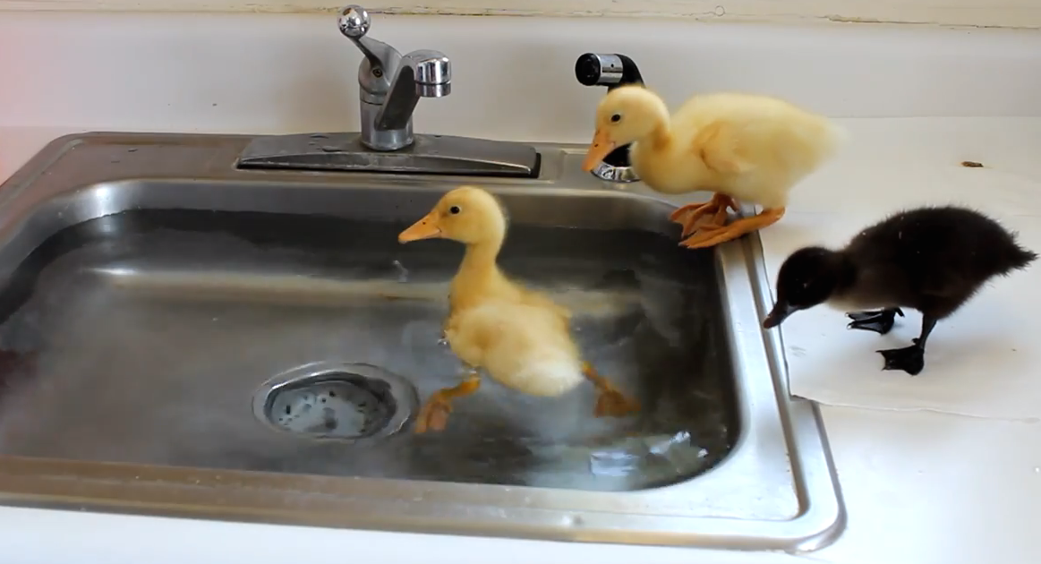 These Cute Baby Ducks Love Swimming In The Kitchen Sink… This Will Make You Go AWWW!