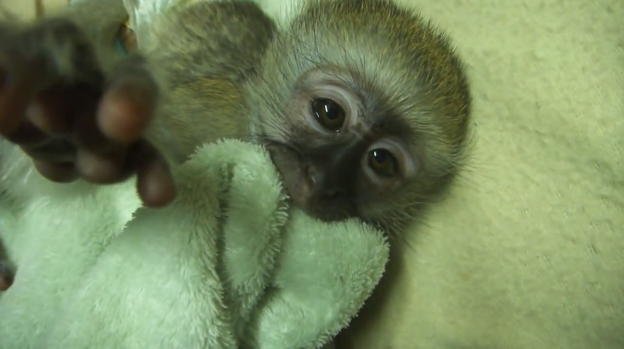 Cute Baby Monkey Throws A Tantrum Because He Doesn't Want To Take A Nap. Watch What He Does At 1:10!