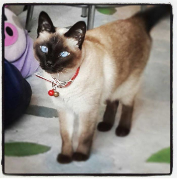 cat-siamese-waiting