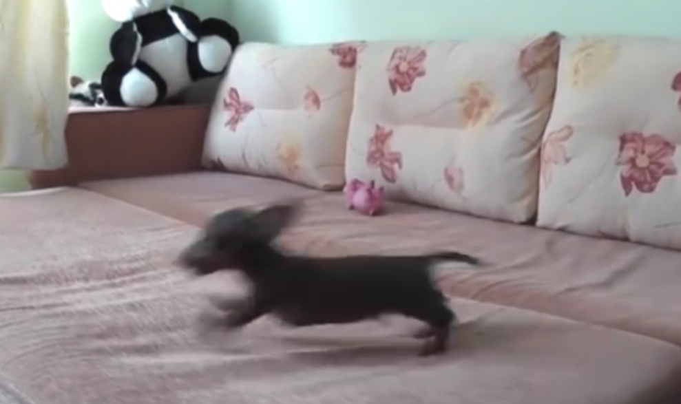 This Puppy Was Allowed On A Bed For The First Time, You Have To See His Adorable Reaction…