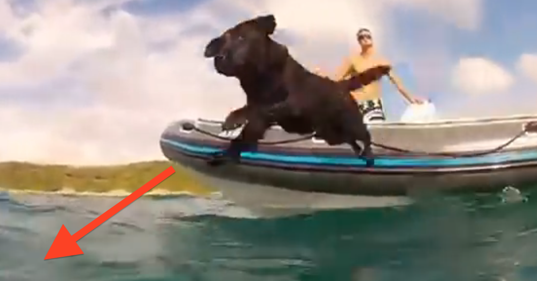 WOW! This Dog Suddenly Leaps Off Boat And Plays With Dolphins…Unreal!