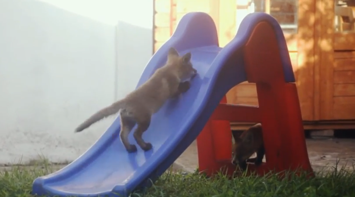 Fox Cubs Find A Slide And Have The Best Time Playing On It…AWW Look!