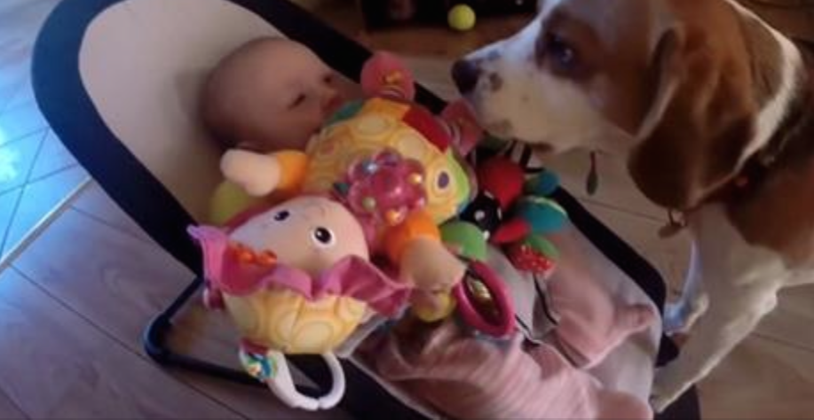 This Beagle Steal A Baby's Toy But Then Feels Guilty…Watch How He Apologizes!