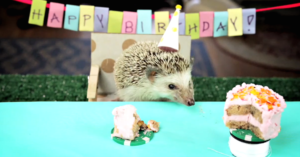 This Tiny Hedgehog Has A Tiny Birthday Party That Will Explode Your Heart Into Tiny Pieces