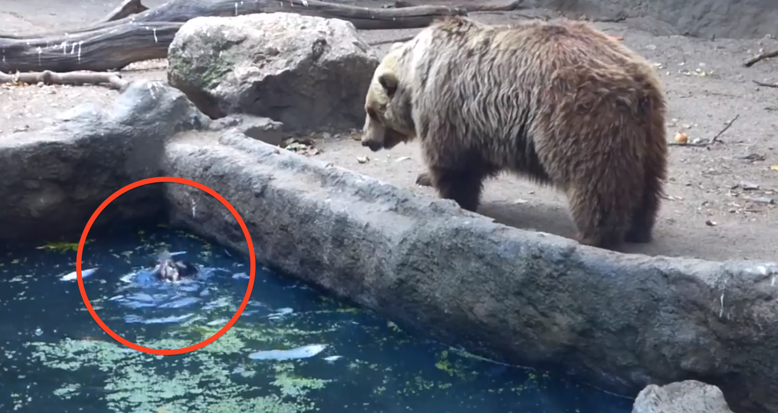 A Crow Was Drowning, So The Bear Saved It's Life And Didn't Even Eat It!