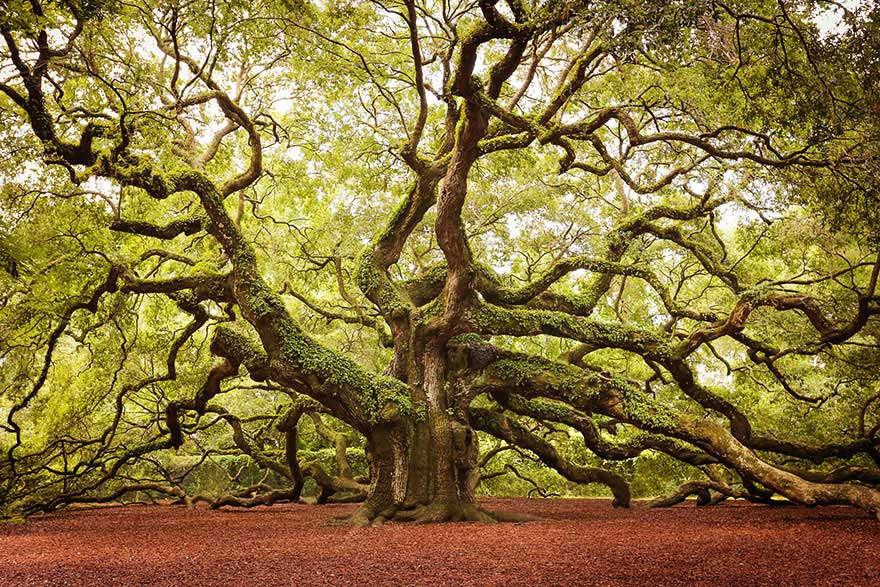 amazing-trees-angel-oak