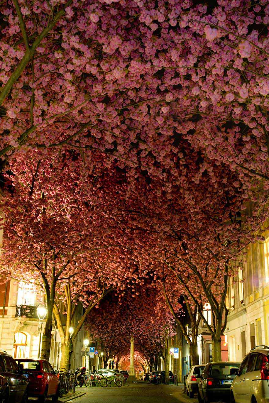 amazing-trees-cherry-blossoms