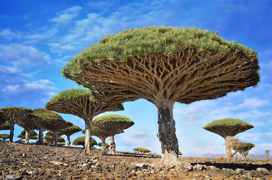 amazing-trees-dragon-blood-yemen