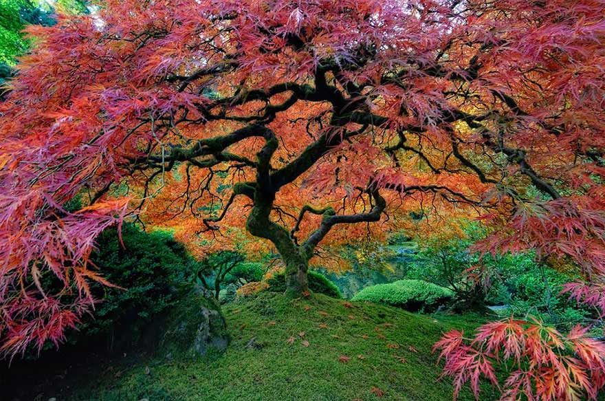 amazing-trees-japanese-maple