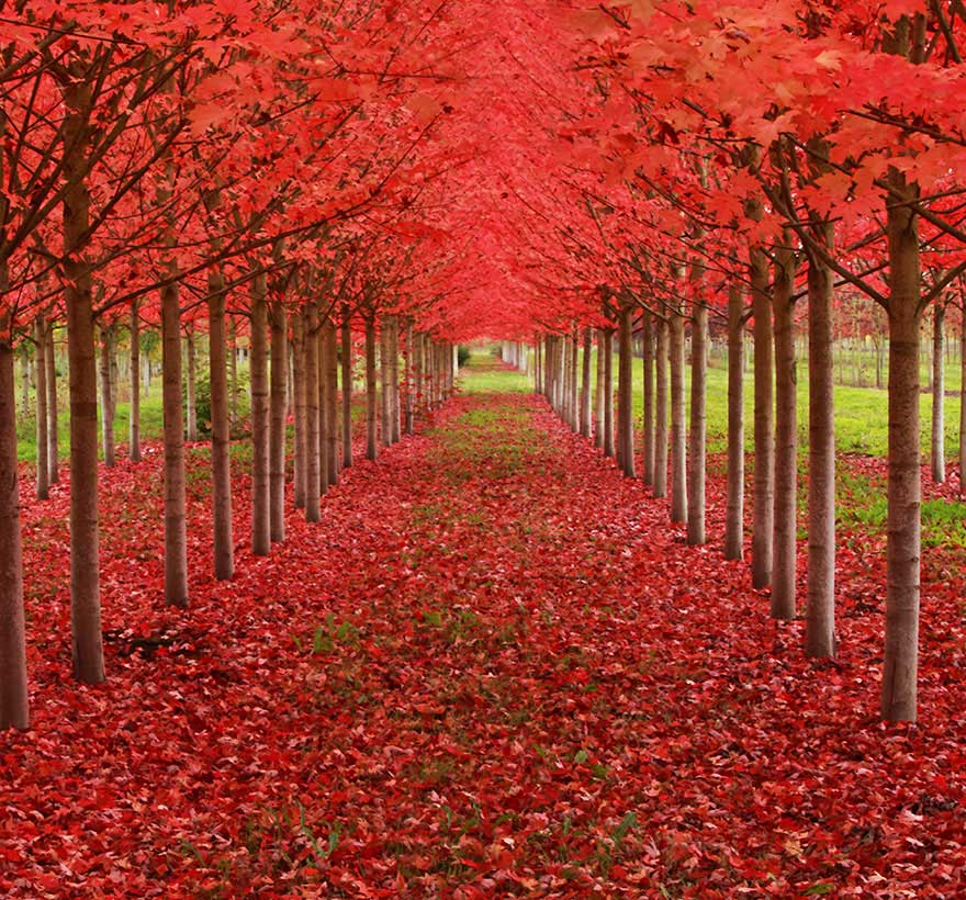 amazing-trees-maple-tunnel