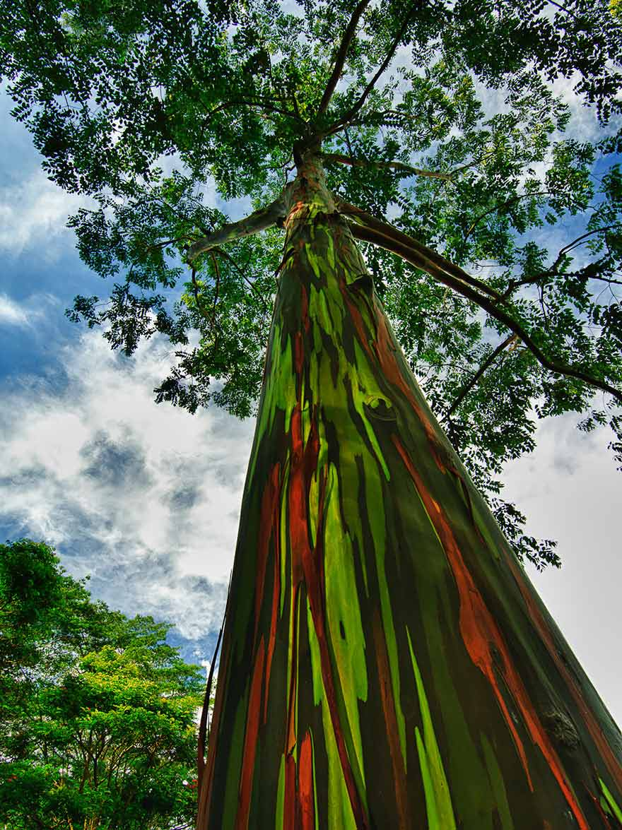 amazing-trees-rainbow-eucalyptus