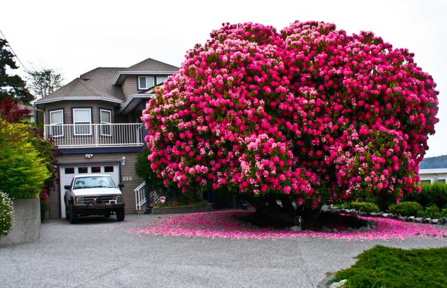 amazing-trees-rhododendron