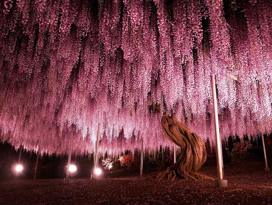 amazing-trees-wisteria-2