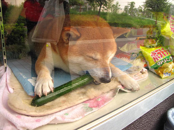 dog-salesman-store-eating-cucumber