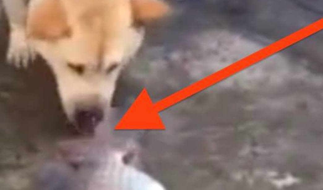 This Dog Has A Heart Of Gold…Watch What He Tries To Do, It Will Leave You In Tears.