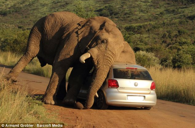elephant-itching-itself-VW-hatchback