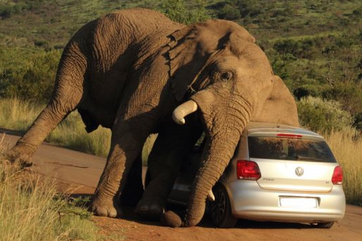 This Itchy Elephant HAD To Scratch Its Back…On A VW Hatchback!