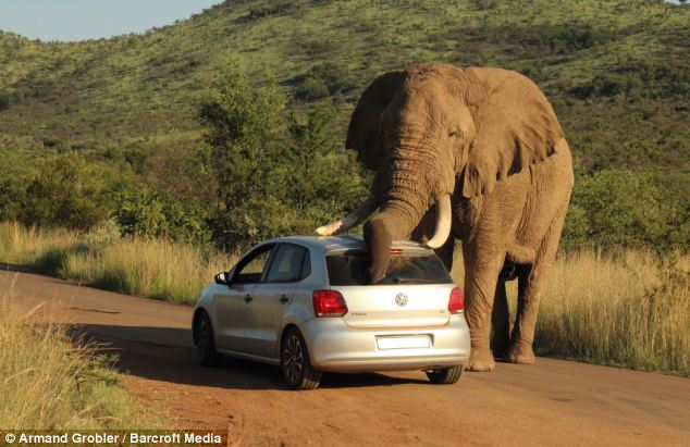 elephant-scratching-itself-VW-hatchback-2