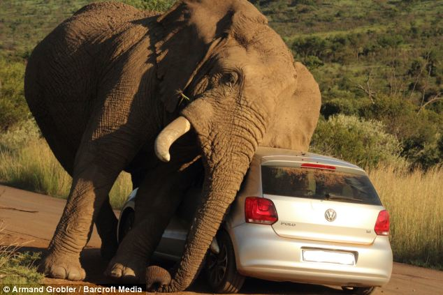 elephant-scratching-itself-vw-hatchback