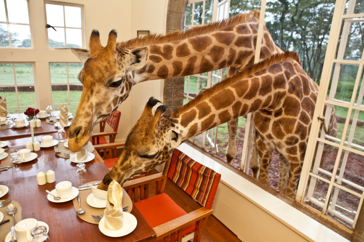 giraffe-helping-self-food