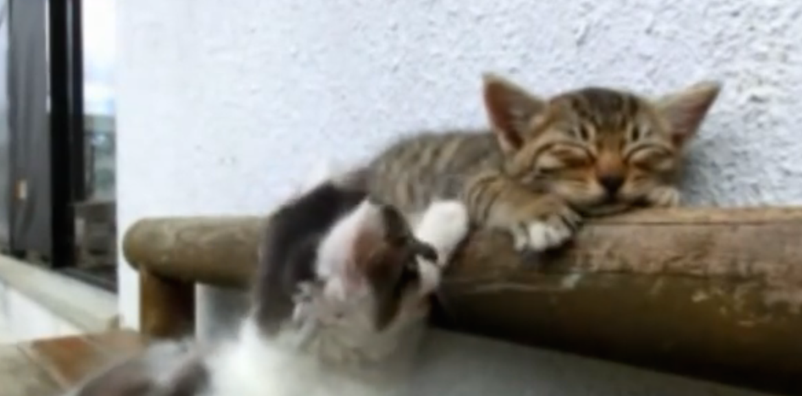 This Cute Kitten Tries Everything To Wake Up His Sleepy Friend…You Gotta See This!