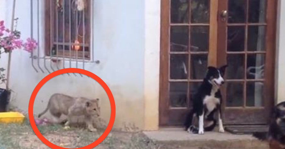 This Stealthy Lion Cub Is About To Scare The Heebie-Jeebies Out Of His Friend!